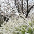 写真: 雪柳・背景に白い桜