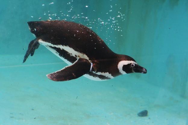 写真: ペンギン(能登島水族館)