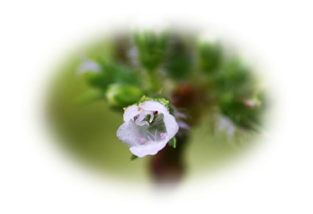 アオジソの花
