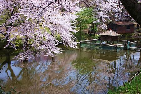 白鳥池と桜