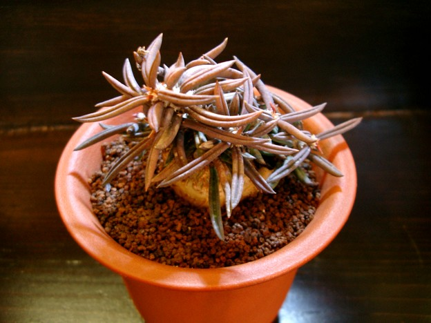 Photos: Euphorbia cylindrifolia ユーフォルビア キリンドリフォリア