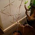 Photos: Euphorbia hedyotoides ユーフォルビア ヘディオトイデス