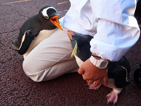 20131207 アドベン ペンギンパレード25