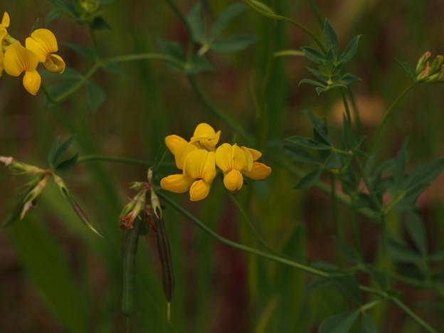 セイヨウミヤコグサ Lotus corniculatus