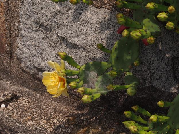 ウチワサボテン Opuntia sp.