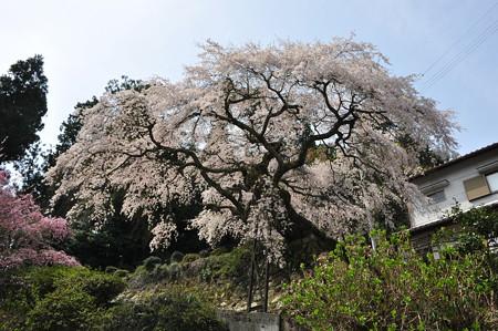 瀧蔵神社の権現桜2