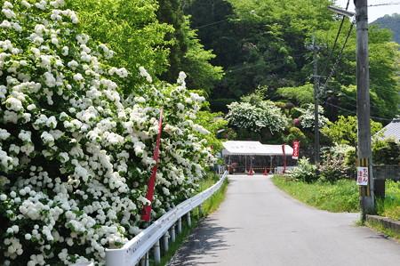 道に咲きほこるオオデマリ
