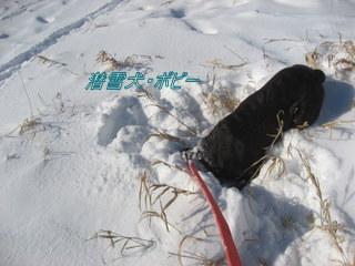 雪に潜る犬^^;