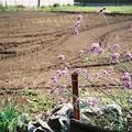 Photos: 畑のお花