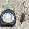 写真: トガリネズミ目の一種