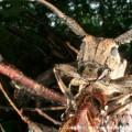 写真: ナガゴマフカミキリ