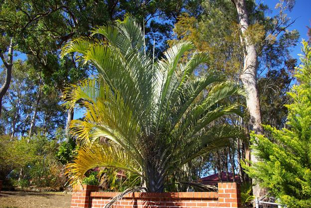 これも椰子の木