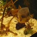 海の生物館シーパレスのハコフグ