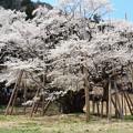 1265淡墨桜