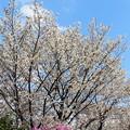 1270蒲桜