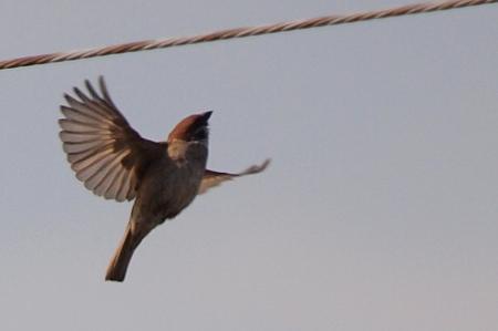 飛び立った雀