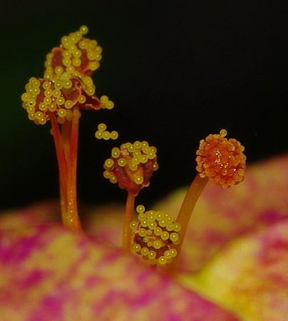 オシロイバナの雌蕊と雄蕊