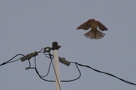 夕刻曇天の雀