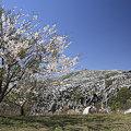 Photos: 平尾台と桜