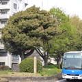 写真: 西ヶ原一里塚と「青いつばめ」