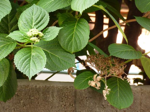 Photos: 初夏の花のつぼみ、相次いで…?