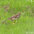 Photos: Meadow Pipit 3