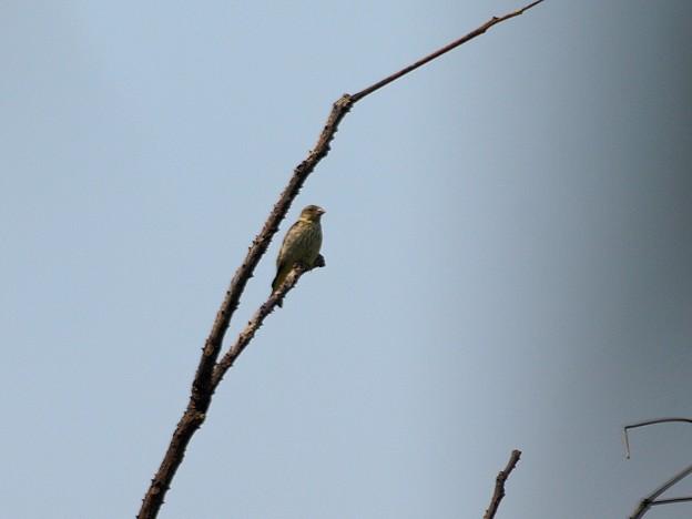 Photos: カワラヒワ幼鳥