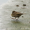 Photos: Rosy Pipit