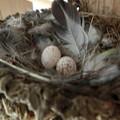 Photos: 二個目産卵