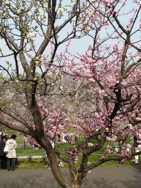 接木の紅白梅。DSC00501