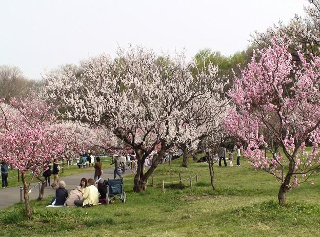 5月初めの平岡公園梅林。DSC00571