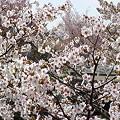 Photos: 『チシマ桜』DSC00093