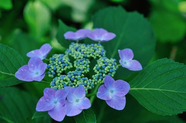【紫陽花:ソフティ】(1)
