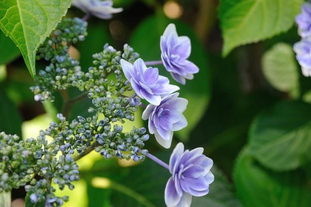 【紫陽花:キュート】(3)