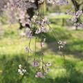 Photos: IMG_6399京都府立植物園・紅枝垂桜