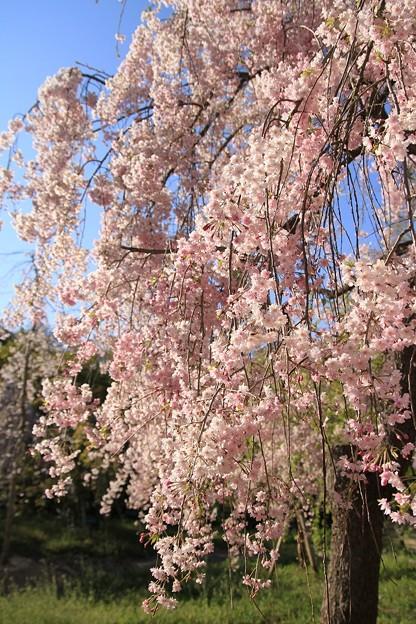 IMG_6425京都府立植物園・紅枝垂桜