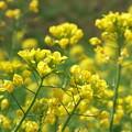 ♪菜の花♪菜の花♪