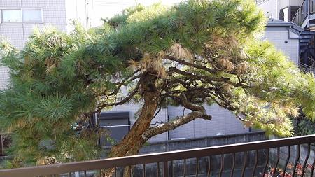部屋から見える松の木