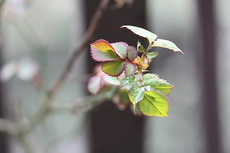 ミニバラの新芽