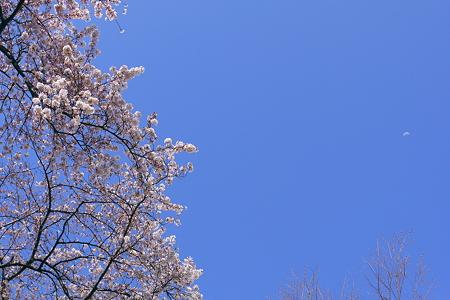 桜はええのぅ
