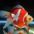 写真: 日本一の「琉金」:2007年度 第25回日本観賞魚フェア 農林水産大臣賞