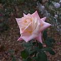 バラ薔薇ピンクな