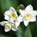 写真: 2009-03-18 水仙