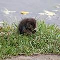 Photos: ジャコウネズミの赤ちゃん