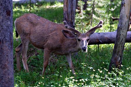ミュール鹿