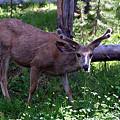写真: ミュール鹿