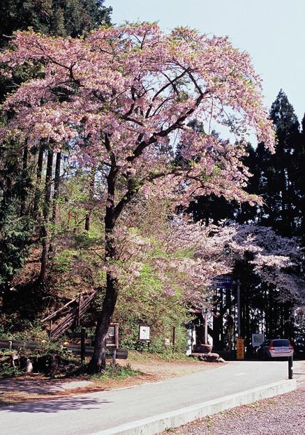 和田峠の桜