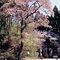Photos: 和田峠の桜