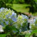 下呂市紫陽花