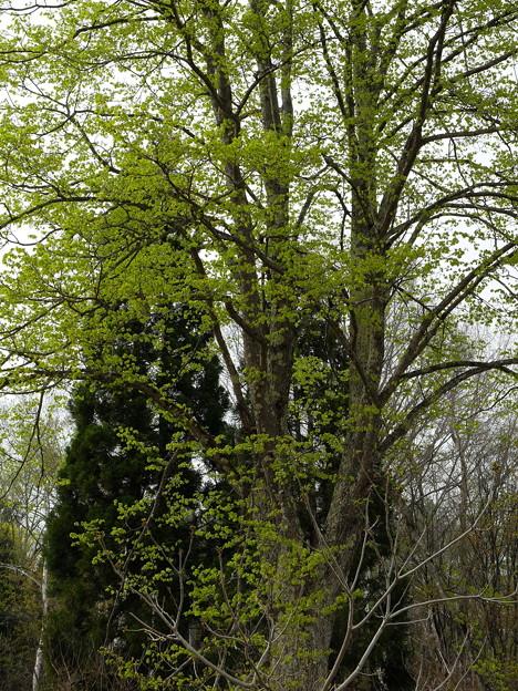 外れのブナの木